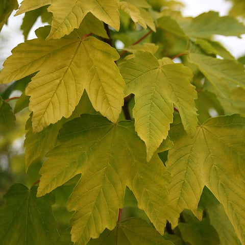 Acer Worley - Foliage