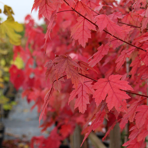 Acer Autumn Blaze Red Maple Tree Mail Order Trees