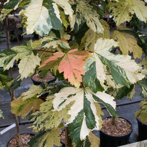 Acer Leopoldii - Sycamore Tree