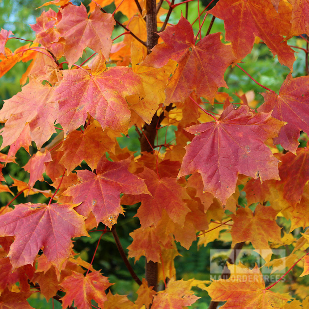 Acer Platanoides Norway Maple Tree Mail Order Trees