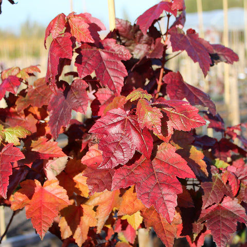 Acer Fairview Flame - Foliage