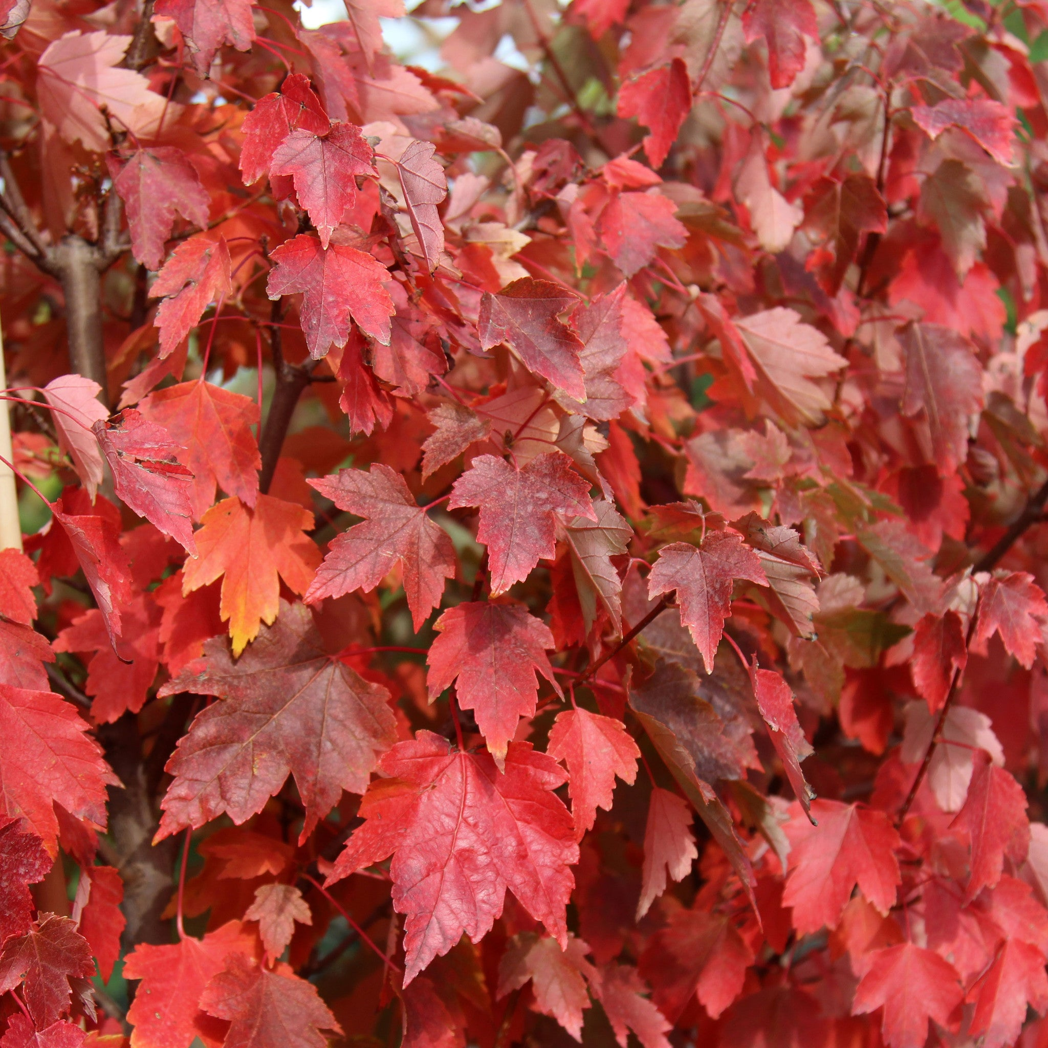 Acer Rubrum Sun Valley Red Maple Tree Mail Order Trees