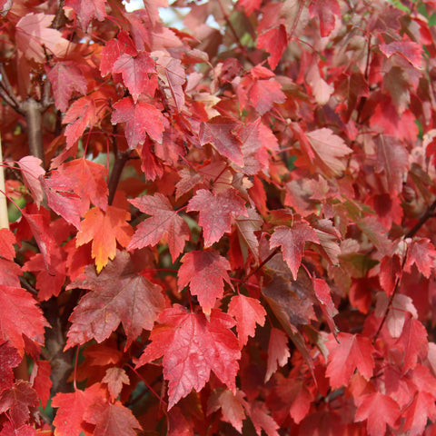 Acer rubrum Sun Valley - Red Maple Tree