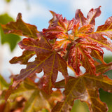 Acer campestre Queen Elizabeth - Evelyn