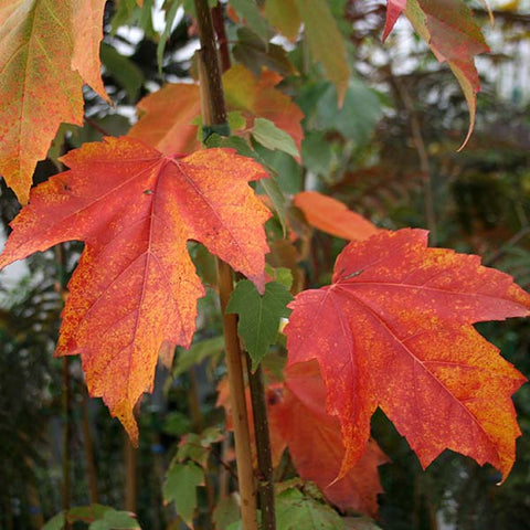 Acer Red Sunset - Autumn Foliage