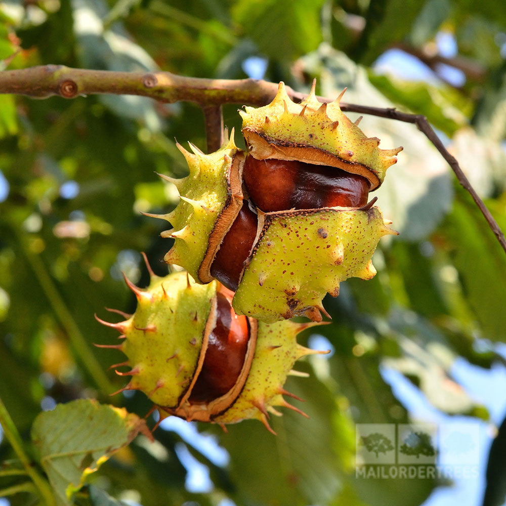 Aesculus hippocastanum - Chestnut | Mail Order Trees - photo#39