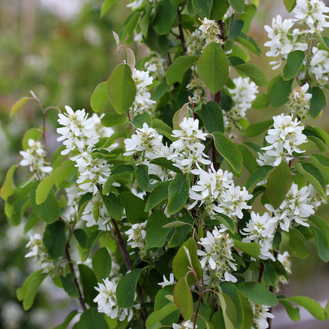 Amelanchier Obelisk - Flowers