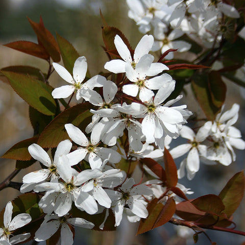 Amelanchier Snowflake - Flowers
