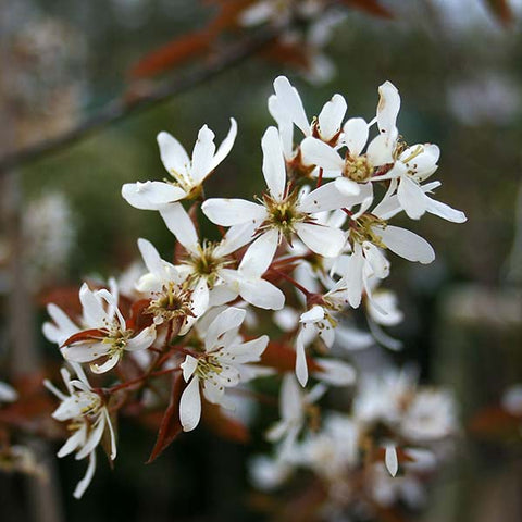 Amelanchier canadensis - Spring Flowers