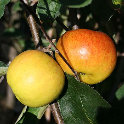 Malus Chivers Delight - Fruits