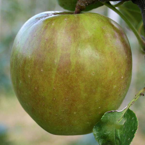 Malus Crispin - Fruit