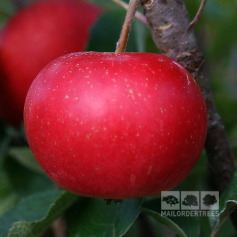Malus Discovery - Fruit