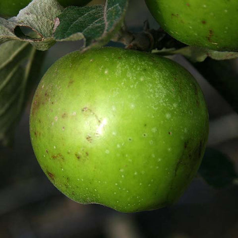 Malus Dunkerton Late Sweet - Fruit