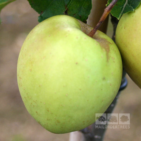 Malus Golden Delicious - Fruit
