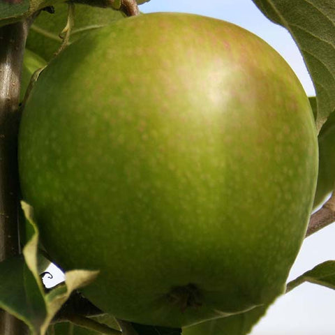 Malus Granny Smith - Fruit
