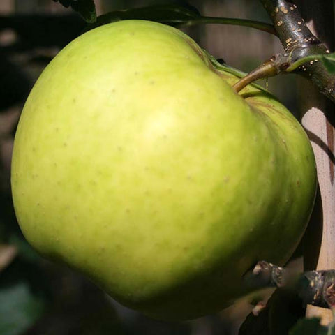 Malus Greensleeves - Fruit