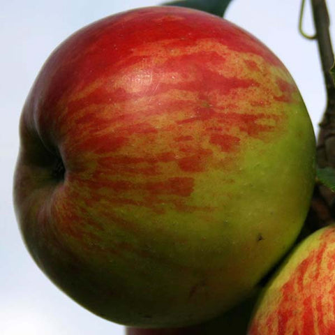 Malus Hereford Redstreak - Fruit