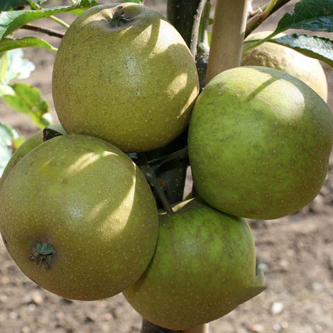 Malus Herefordshire Russet - Fruits