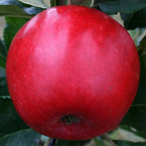 Malus Katy - Fruit