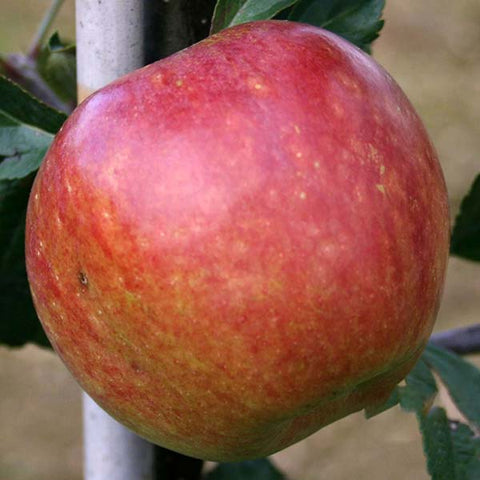 Malus Kidd's Orange Red - Fruit