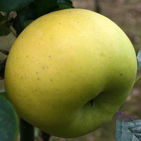 Malus Limelight - Fruit