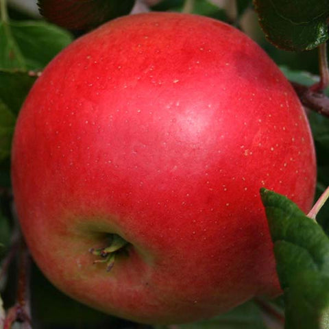 Malus Red Devil - Fruit