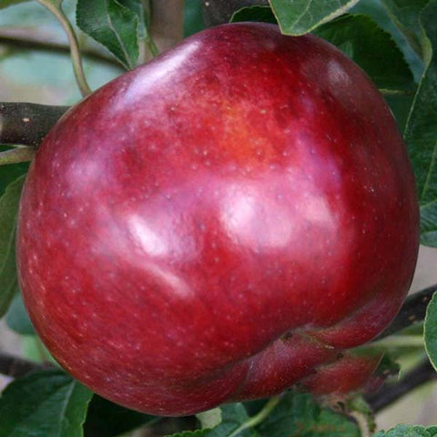 Malus Spartan - Fruit