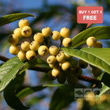 Cotoneaster Rothschildianus - Mix n Match