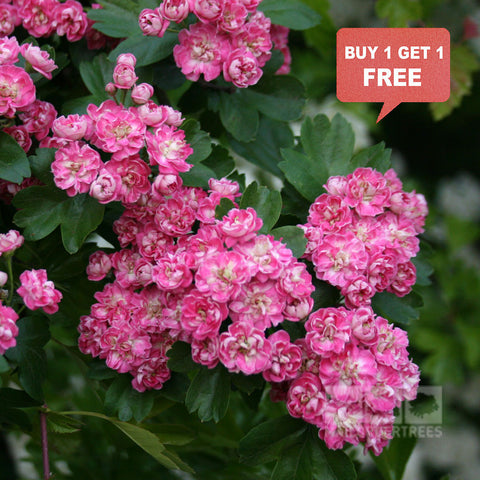 Crataegus Rosea Flore Pleno - Mix n Match