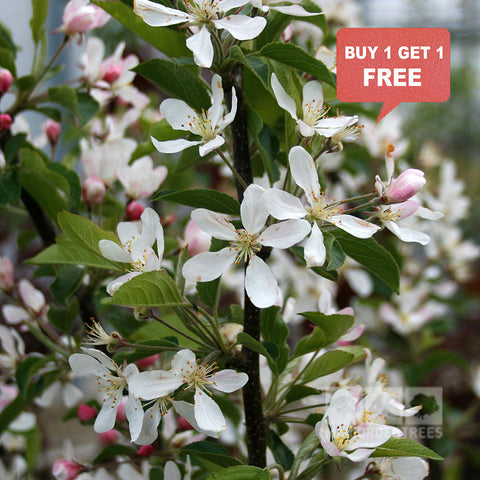 Malus White Star - Mix n Match