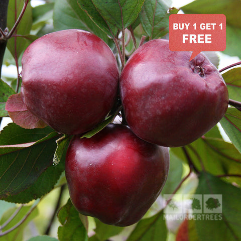 Malus Wisley Crab - Mix n Match