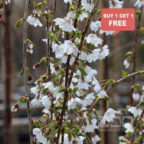 Prunus Snow Showers - Mix n Match