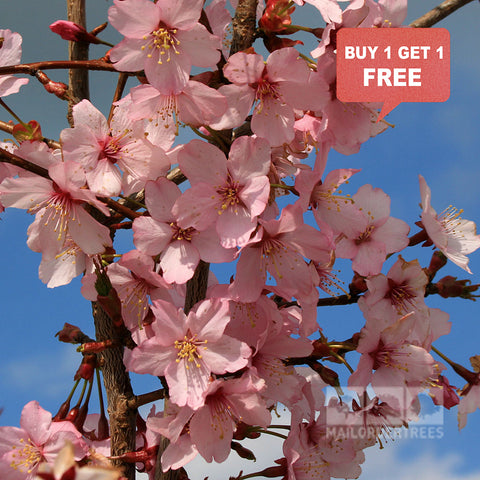 Prunus Spire - Mix n Match