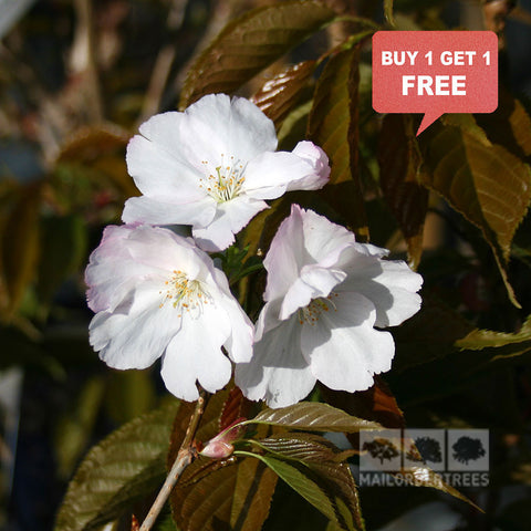 Prunus Sunset Boulevard - Mix n Match