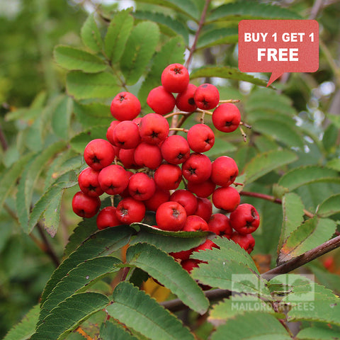 Sorbus Sheerwater Seedling - Mix n Match
