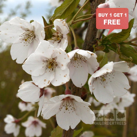 Prunus x Yedoensis - Mix n Match