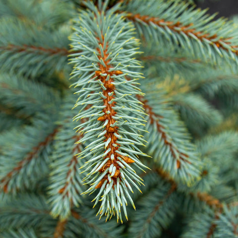 Picea pungens Baby blue eyes - Colorado Spruce