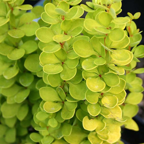 Berberis Golden Torch - Foliage
