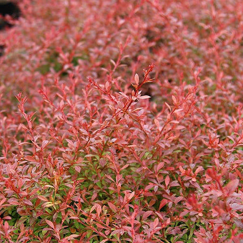 Berberis Orange Dream - Foliage
