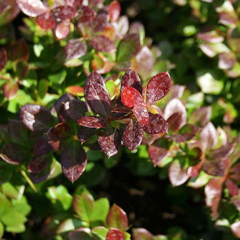 Berberis Red Jewel - Foliage