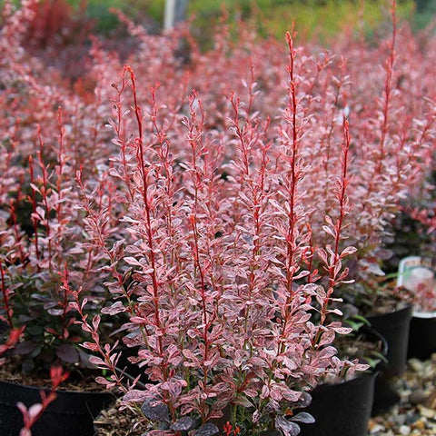 Berberis Rosy Rocket - Foliage