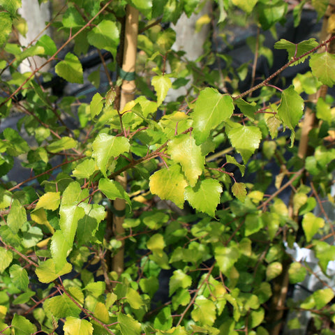 Betula Golden Beauty - Foliage
