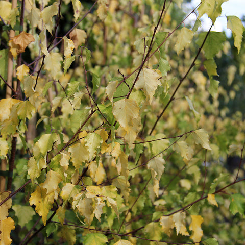Betula Golden Cloud