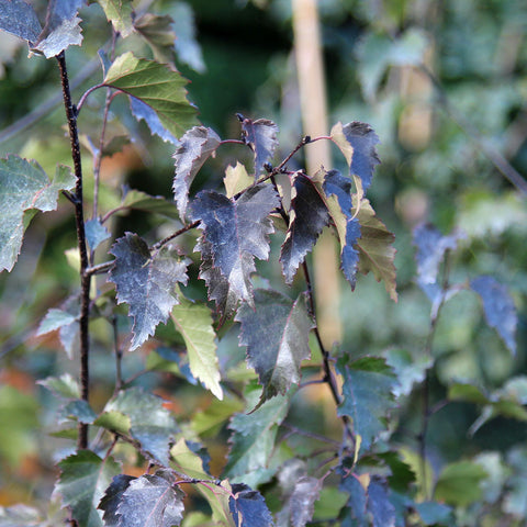 Betula Royal Frost - Foliage