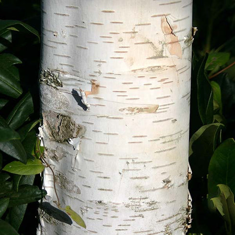 Betula Snow Queen - Bark