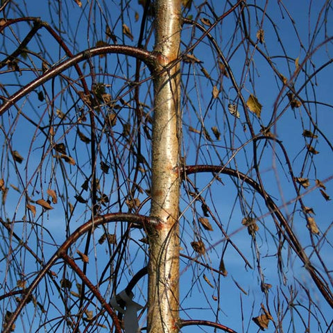 Betula Youngii - Bark