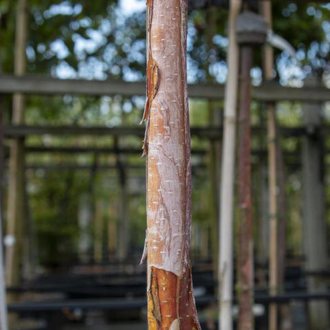 Betula albosinensis Fascination - Bark