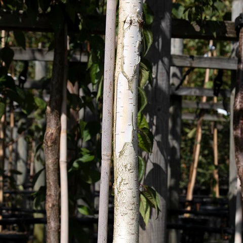 Betula Silver Shadow - Bark