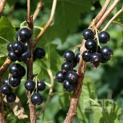 Ribes Ben Lomond - Berries