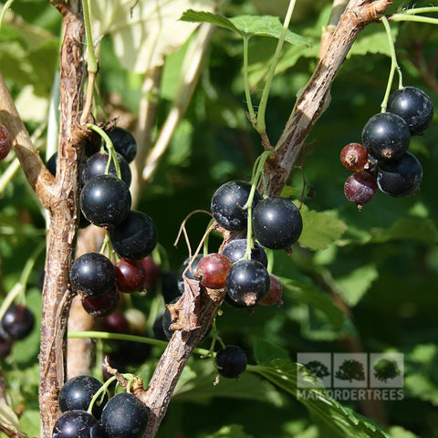 Ribes Wellington XXX - Berries